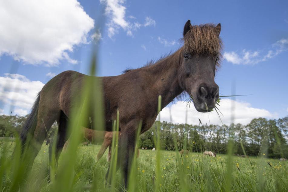 Das Pferd stand seelenruhig auf seiner eigenen kleinen Koppel. (Symbolbild)