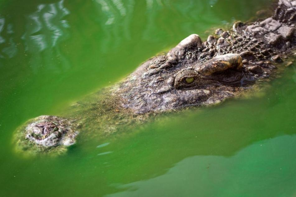 Ein Krokodil attackierte das Kind. (Symbolbild)