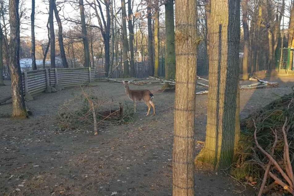 Seit kurzem wohnen Vietnam-Sikahirsche im Chemnitzer Tierpark