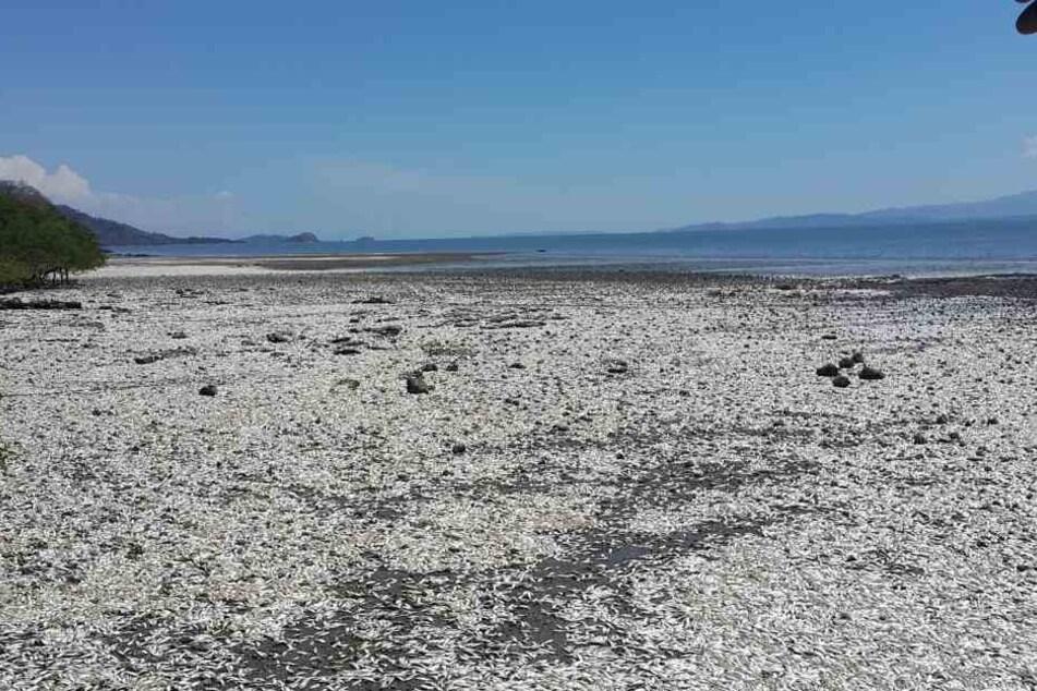 An der Pazifikküste von Costa Rica wurden Tausende tote Fische angespült.