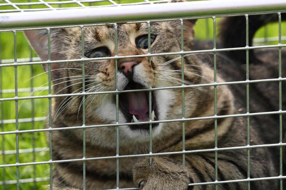 Nicht jedem Miezekätzchen ergeht es prima. Eine Tierheim-Katze, die in einer Lebendfalle sitzt (Symbolbild).