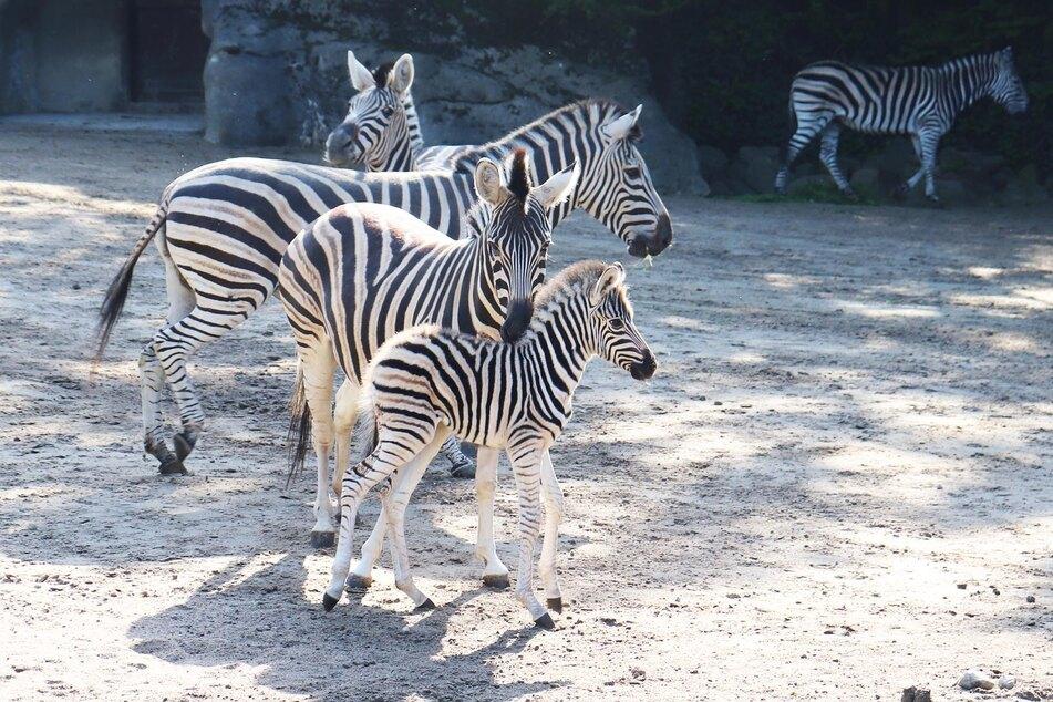 Ein erst wenige Tage altes Zebra ist im Tierpark Hagenbeck erstmals im Außengelände zu sehen.