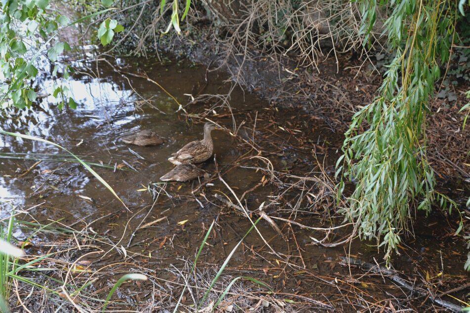Die kleinen Enten spazieren gemütlich zwischen Straße und Dorfteich umher.