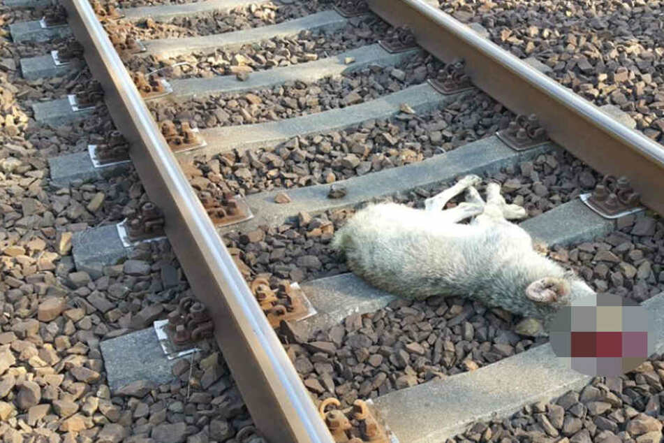 Der Jungwolf wurde wohl von einem Zug überfahren.