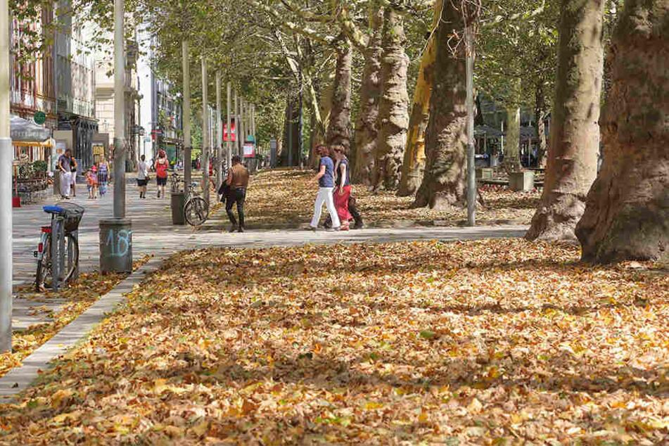 """Wegen des Hitze- und Trockenstresses haben die Platanen auf der Hauptstraße bereits auf """"Herbst"""" umgeschaltet."""