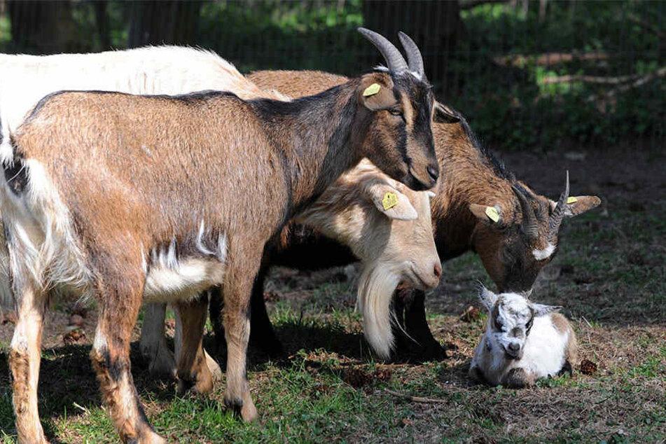 Eine Ziege wurde zu Tote gefüttert. (Symbolziegen)