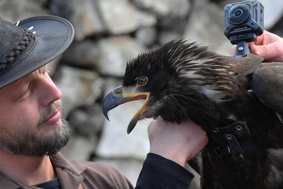 Falkner Hans-Peter Herrmann (34) hat seinem Weißkopfseeadler Manitu (1) eine  360-Grad-Kamera auf den Rücken gebastelt.