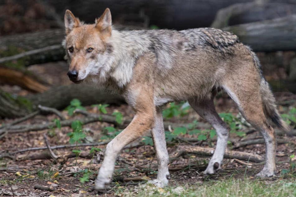 100 Prozent Wolfs-Schadenersatz: Rundum-Sorglos-Paket für Sachsens Schafhalter