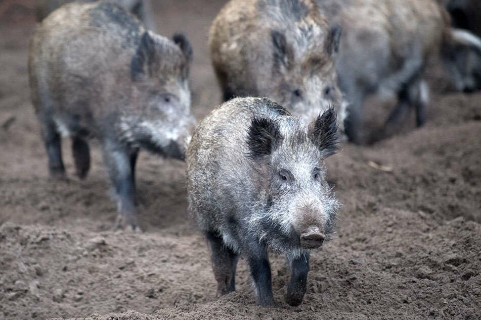 Für Schweine und Wildschweine verläuft die Afrikanische Schweinepest meist tödlich.