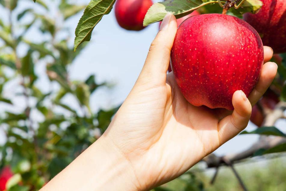 Leute ernten ganze Bäume ab: Obstdiebstähle in Bayern!