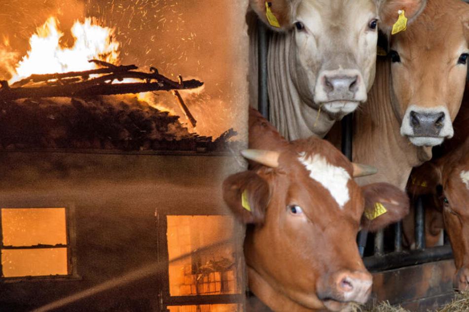 Blitz schlägt ein, Feuer im Stall: Über 30 Kühe sterben