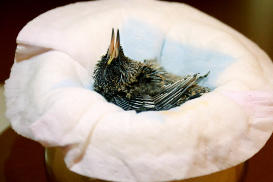 Nur in seltenen Fällen brauchen scheinbar hilflose Jungvögel Hilfe. (Symbolbild)