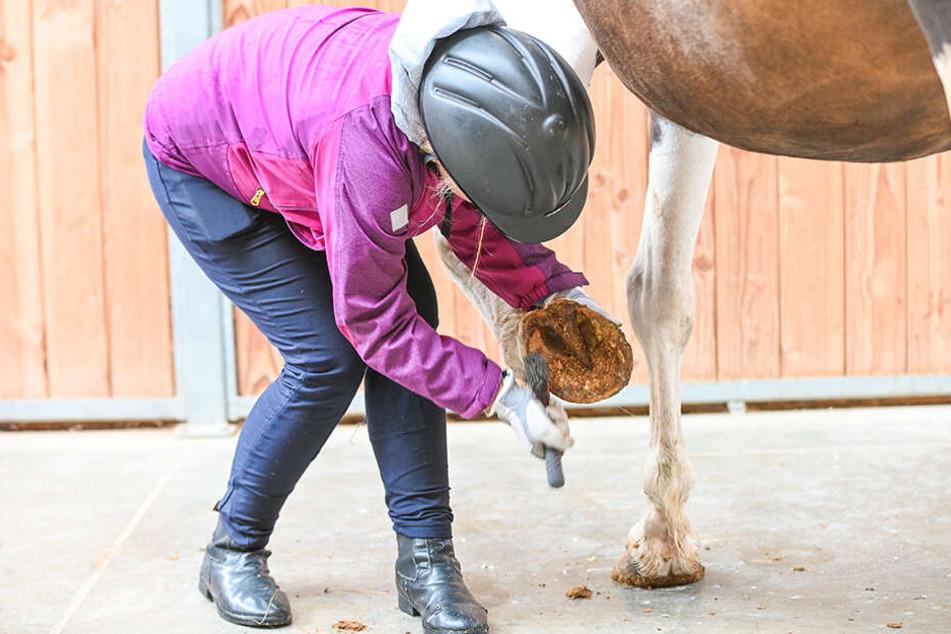 Das will gelernt sein: Wer reiten möchte, muss auch wissen, wie die Hufe gepflegt werden.