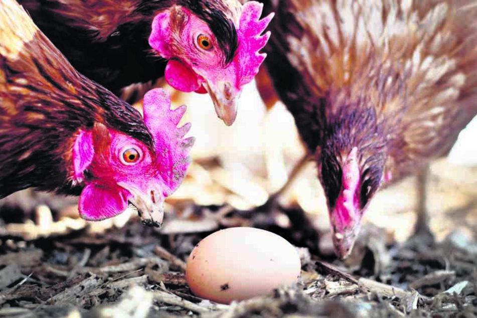 Die Eier in Sachsens Supermärkten  sollen sicher sein!