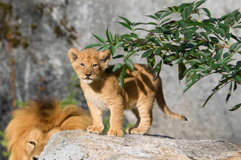 Die kleinen Löwen fanden keinen neuen Besitzer und wurden eingeschläfert.