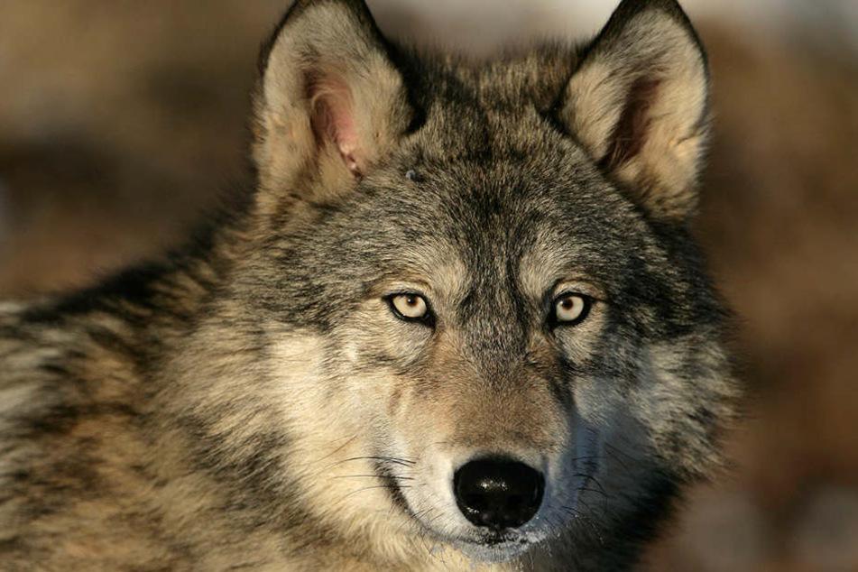Der Wolf war bei einem Verkehrsunfall getötet worden. (Symbolbild)