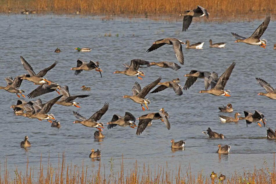 Bevor die Vögel in Richtung der Niederlande weiterfliegen, machen sie in NRW Rast.
