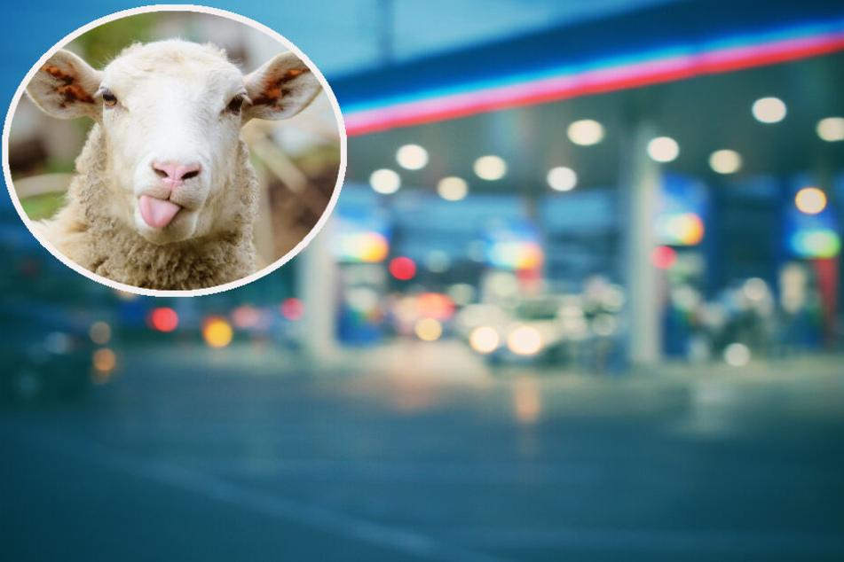 """Schaf """"Hannibal"""" will kurz zur Tanke und schlägt Kunden in die Flucht"""