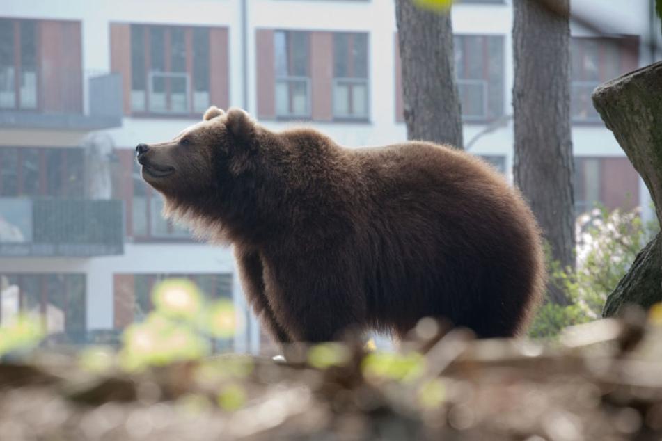 In der Slowkai musste die Polizei einen Braunbären aus dem Stadtzentrum verjagen. (Symbolbild)