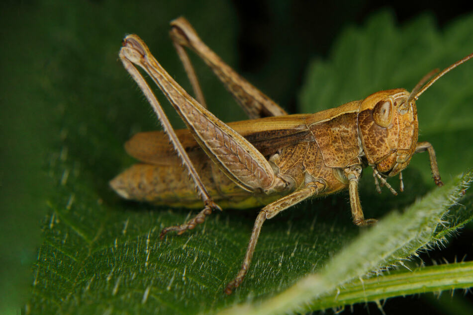 """""""Scourge of the earth"""": Grasshopper swarms sweep the Northwest"""