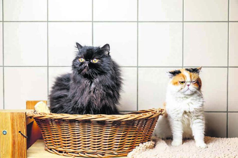 Die Perser-Katzen Dorie (r.) und Schnurzel.