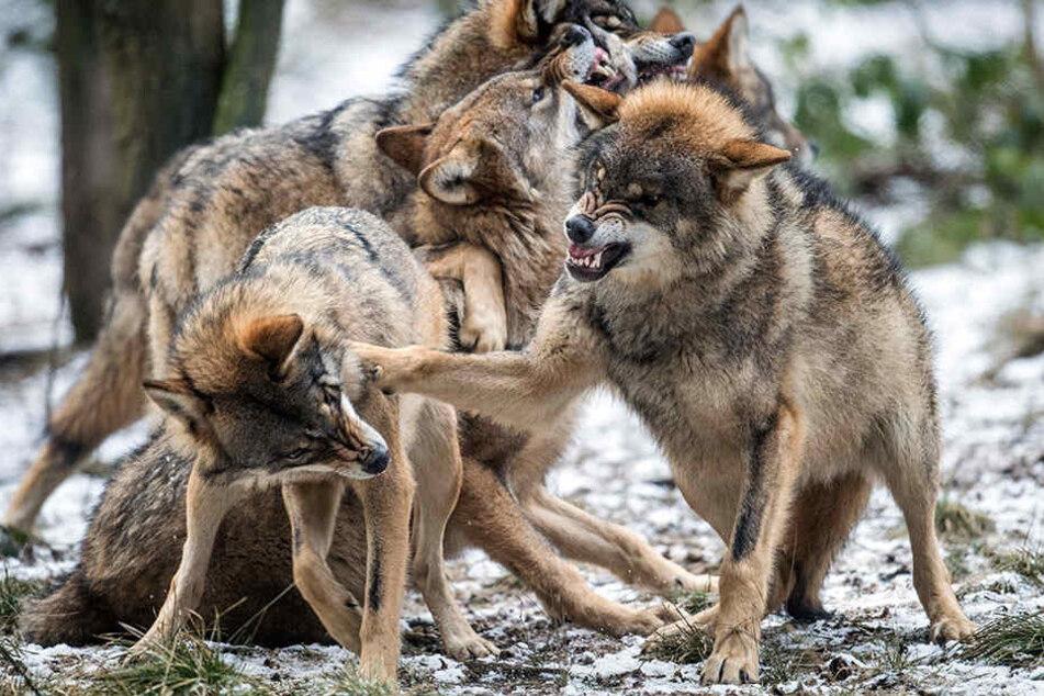 In Brandenburg darf man künftig Wölfe in Ausnahmefällen erledigen.