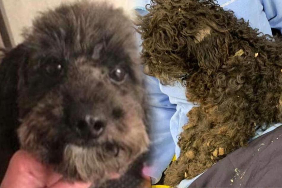 Hundebesitzer können nicht glauben, wo ihr Pudel nach sechs Wochen wieder auftaucht