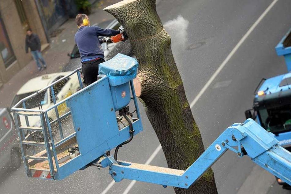 Straßenbäume sollen künftig nicht mehr so einfach gefällt werden dürfen.