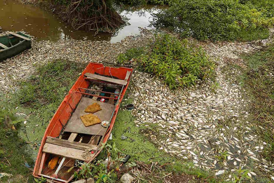 Zahlreiche Fische erlagen im Fluss Confuso dem Sauerstoffmangel.