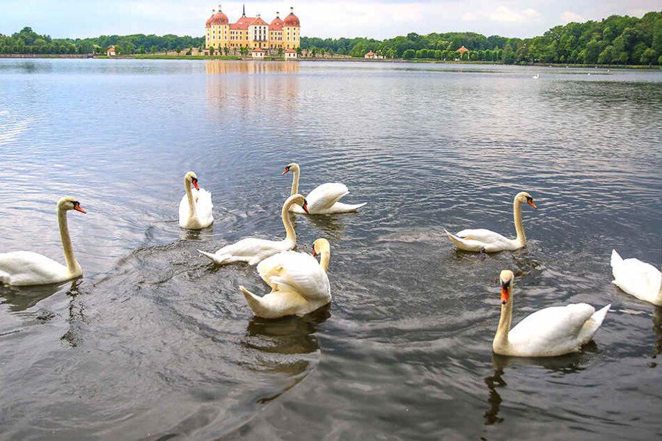 Auf dem Junggesellen-Teich in Moritzburg schwimmen dagegen fast nur Singles.