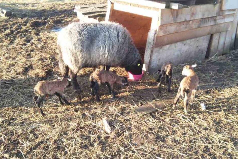 Die Schafe hat Familie Gärtner teils mit der Flasche großgezogen.