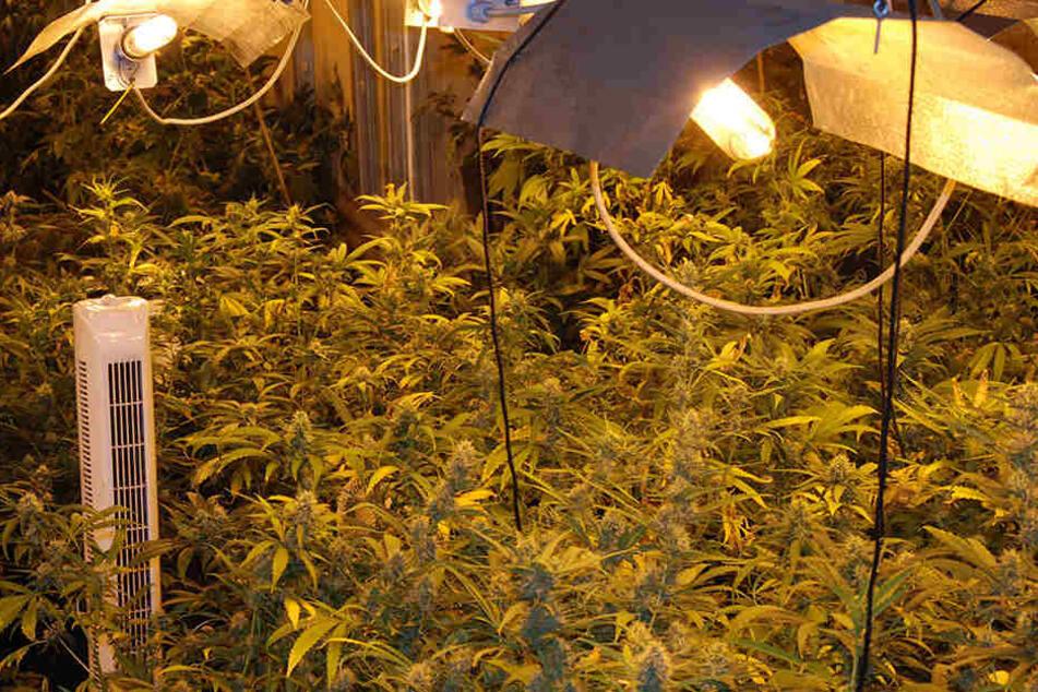 Die Polizisten entdeckten bei Ermittlungen eine Cannabis-Plantage. (Symbolbild)