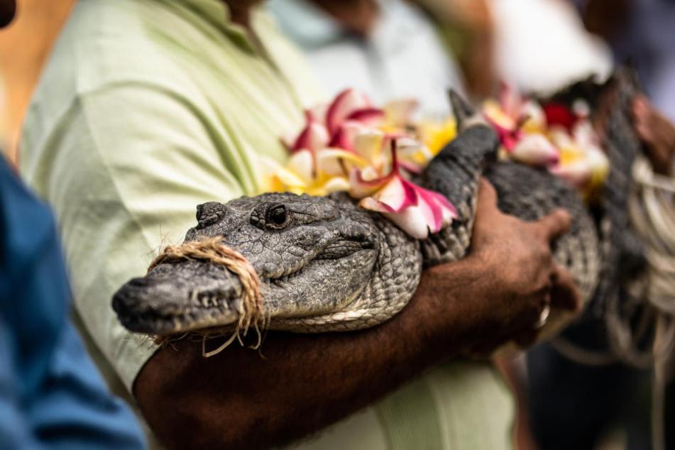 Anlässlich der Hochzeitszeremonie wurde das Krokodil standesgemäß herausgeputzt.