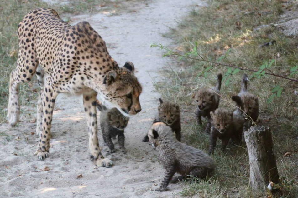 Insgesamt kamen sechs Geparden-Babys im Juni zur Welt.