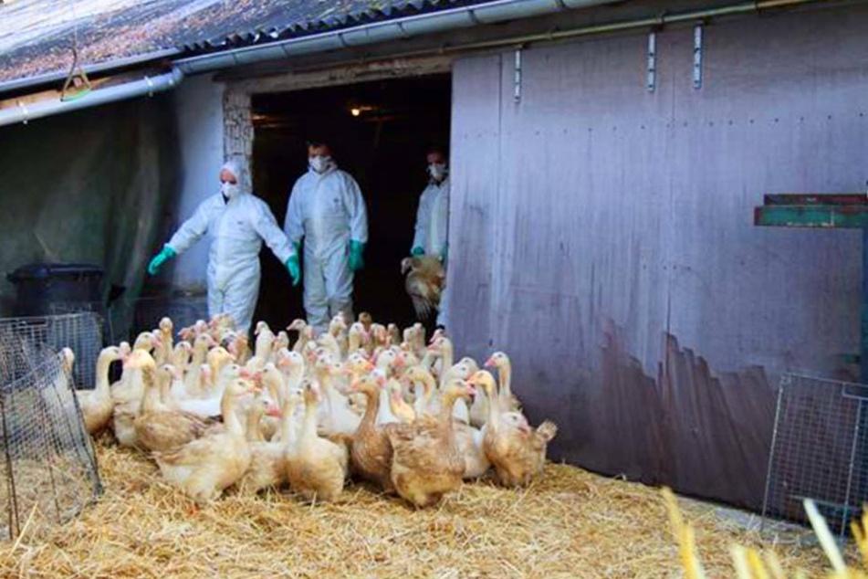 Vor einer Woche wurde bekannt, dass in einem Rietberger Geflügel-Betrieb die Vogelgrippe ausgebrochen ist. Verbreitet hat sich der H5N8-Virus wohl nicht.