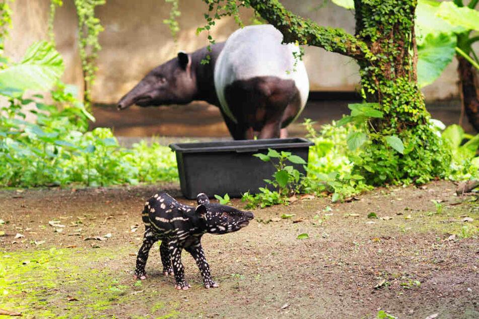 Der kleine Tapirbulle erkundet mit Mutter Laila sein neues Zuhause.