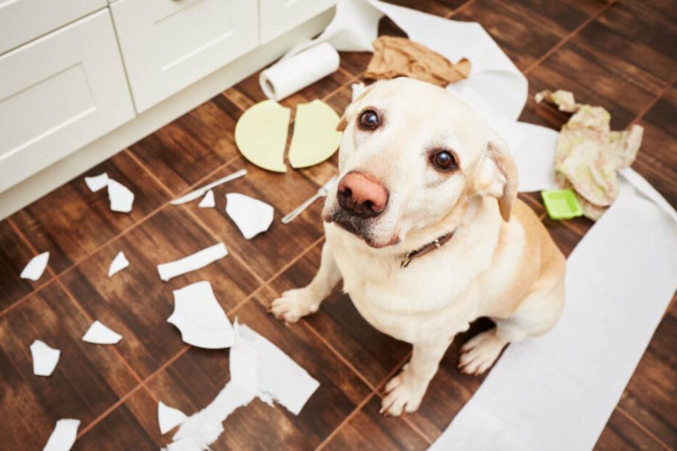 Was kann ich tun, wenn mein Hund alles kaputt macht?