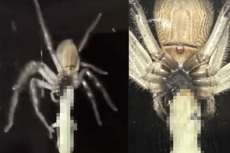 Was diese Riesen-Spinne mit sich rumschleppt, ist nichts für schwache Nerven