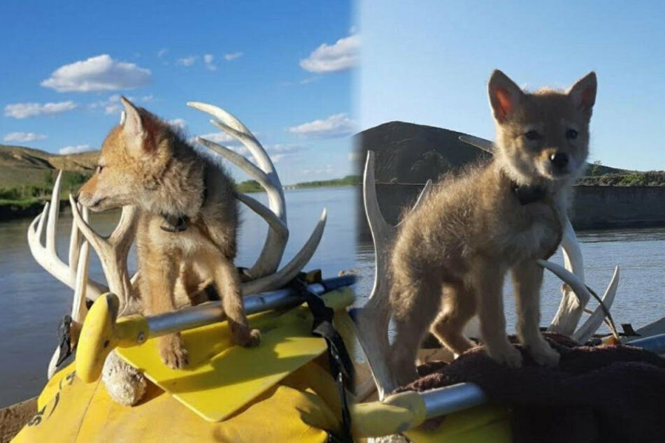 Mitten in Kanadas bezaubernder Landschaft leistete dieser Kojote Justin tagelang Gesellschaft.
