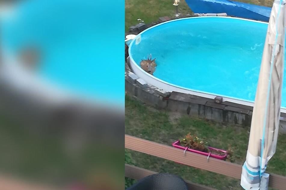Reh ging baden, da sprang die Polizei mit in den Pool