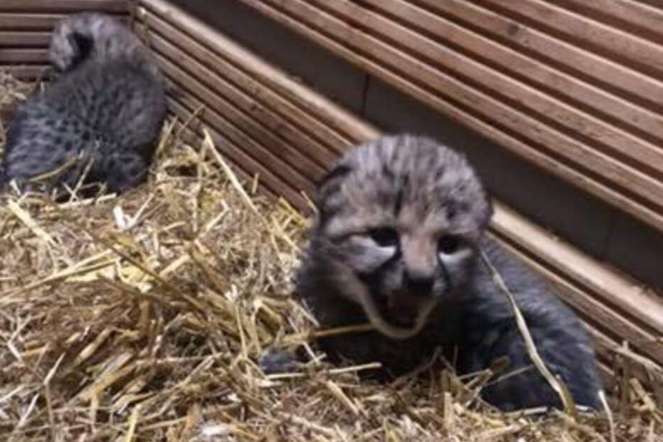Die Geparden-Jungen wenige Wochen nach ihrer Geburt.