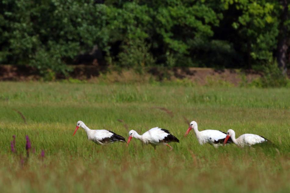 Sobald der Hunger kommt, geht's zur Futtersuche ab auf die Wiesen im Grünfelder Park.