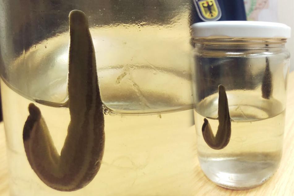 Dieses Fundstück wurde bei der Bundespolizei abgegeben. In dem Glas sitzen zwei Blutegel.