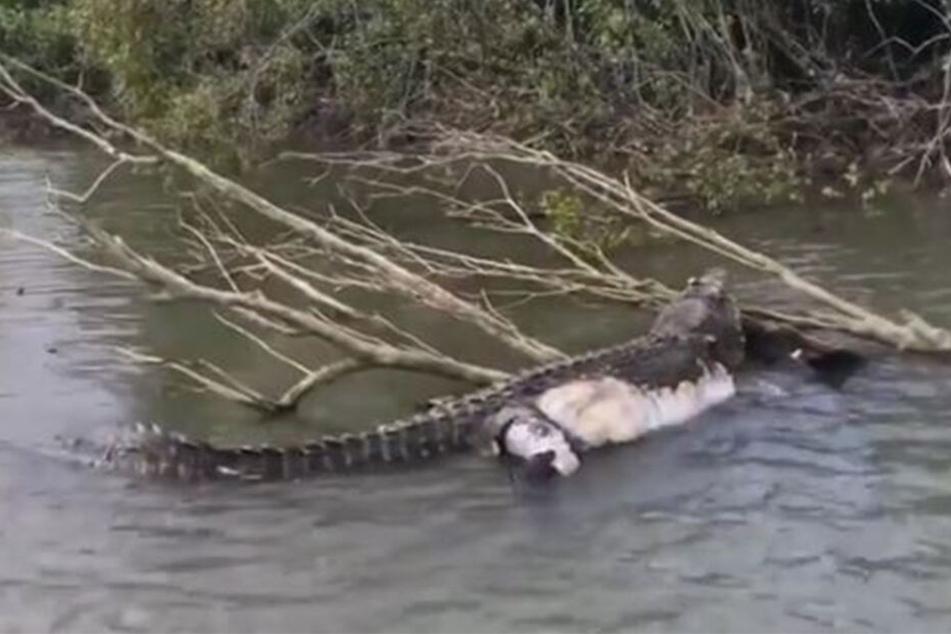 """Das Uralt-Krokodil """"Bismarck"""" wurde offenbar Opfer von Wilderern."""