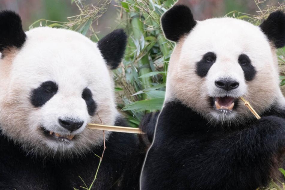 Erste Ultraschall-Bilder bei Meng-Meng: Bekommt Berlin bald ein Panda-Baby?