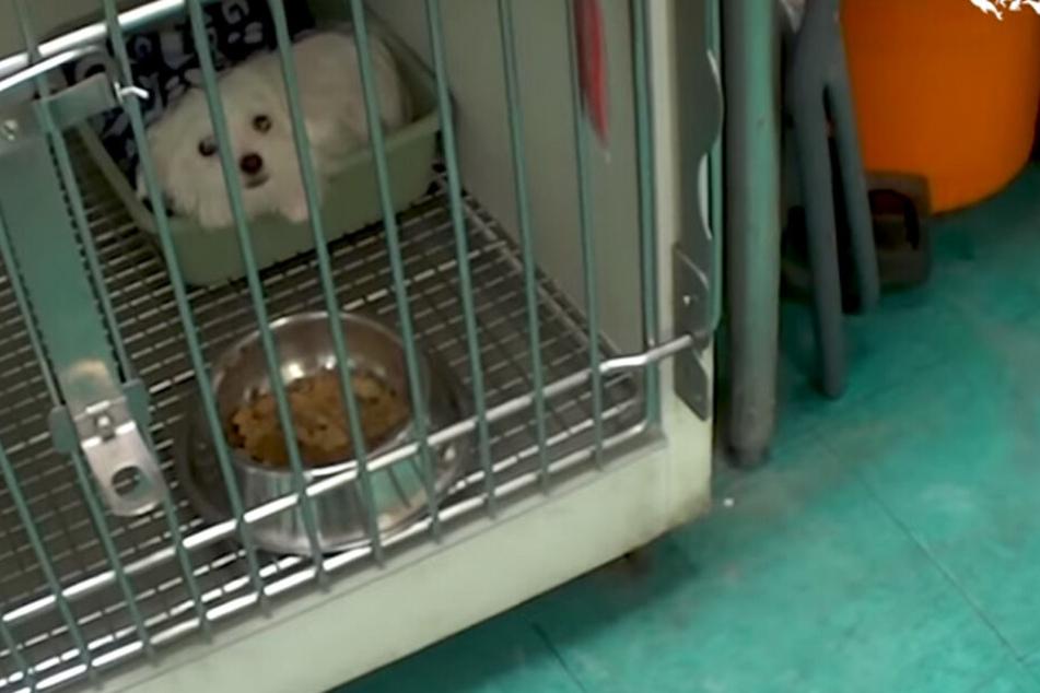 Viele Welpen kamen krank im Tierhandel an und wurden ihrem Schicksal überlassen. So auch der weiße Shih Tzu-Welpe Panda.