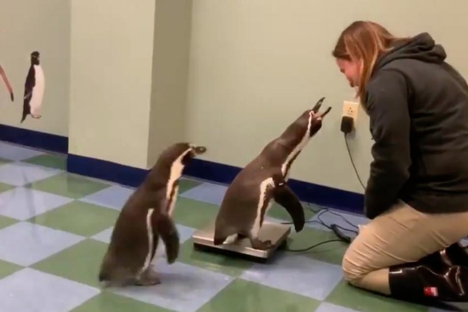 So brav stellten sich die Pinguine nach und nach auf die Waage.