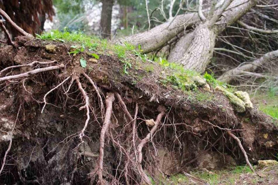 Der Sturm hat in Berlin gleich mehrere Bäume umgerissen (Symbolbild).