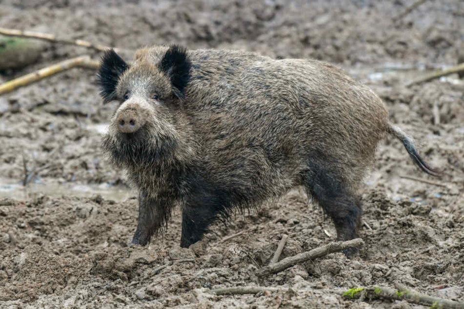 Kranke Wildschweine bereiten der dänischen Regierung Kopfzerbrechen.