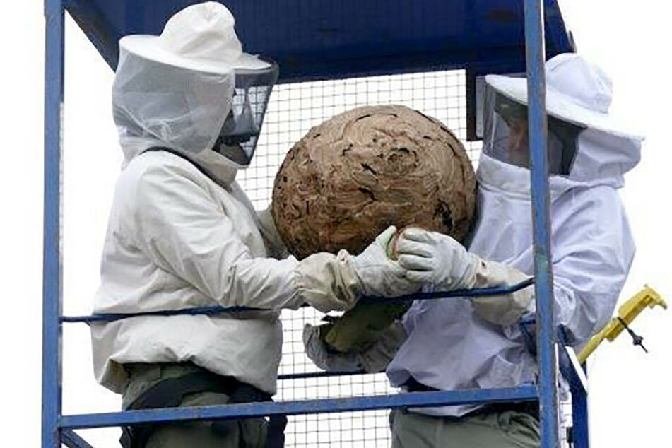 Schädlingsbekämpfer haben im vergangenen November ein Nest von Asiatischen Hornissen aus einem Baum in Mannheim entfernt.